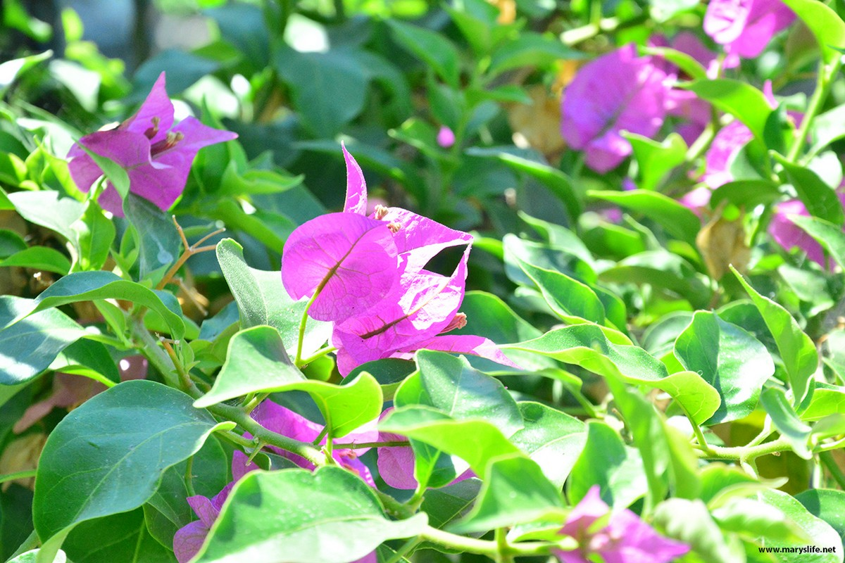 Lila Çiçek Fotoğrafları