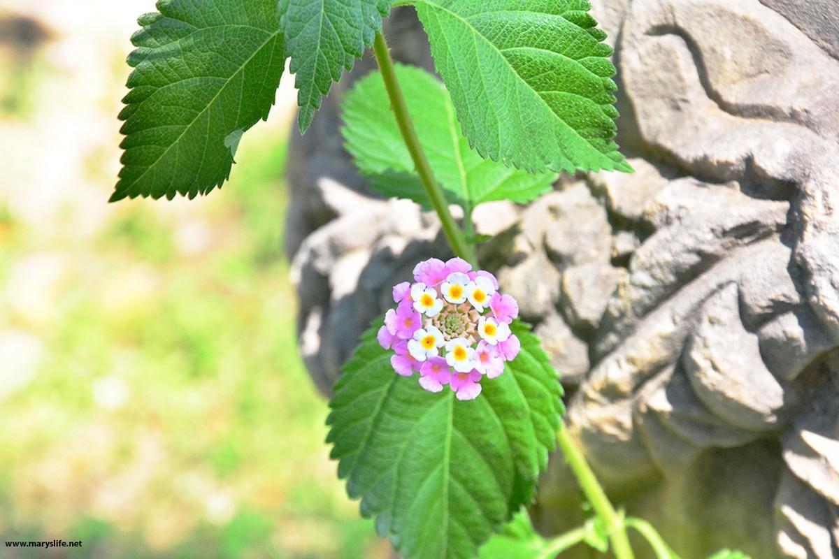 Ağaç Minesi Çiçeği