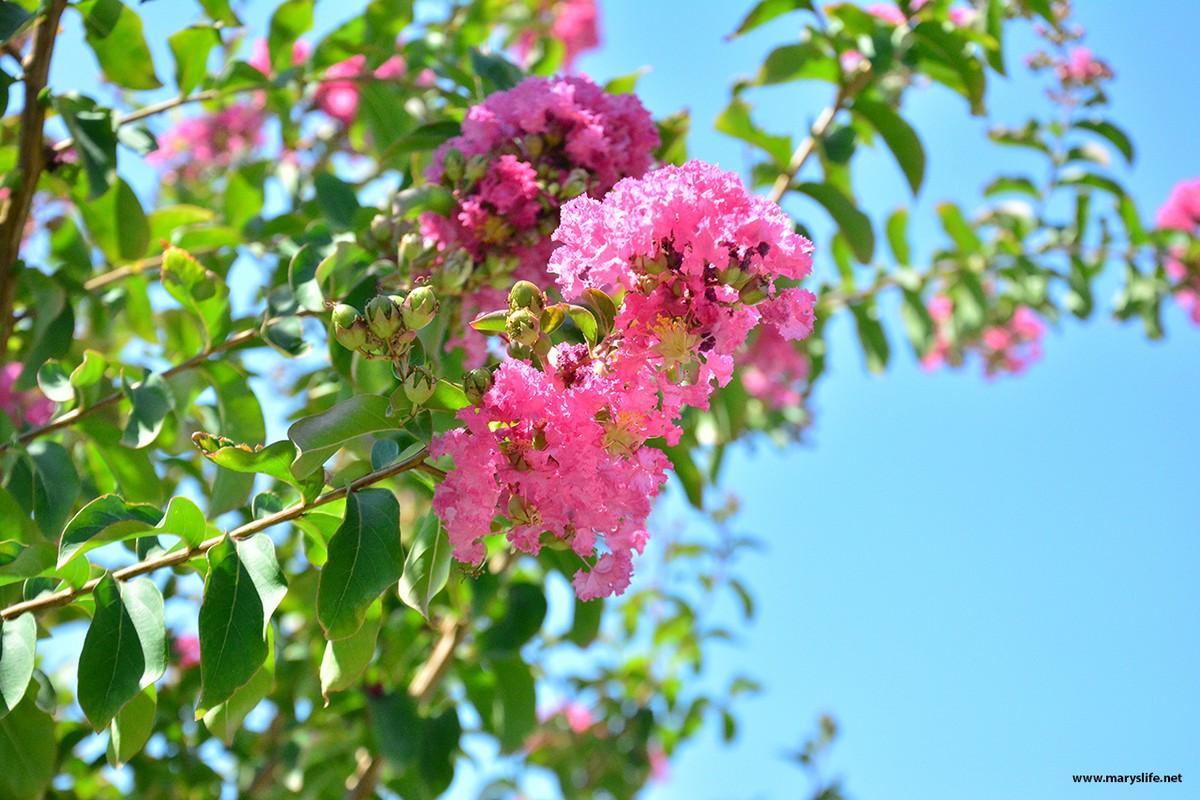 Pembe Çiçek Açan Ağaçlar